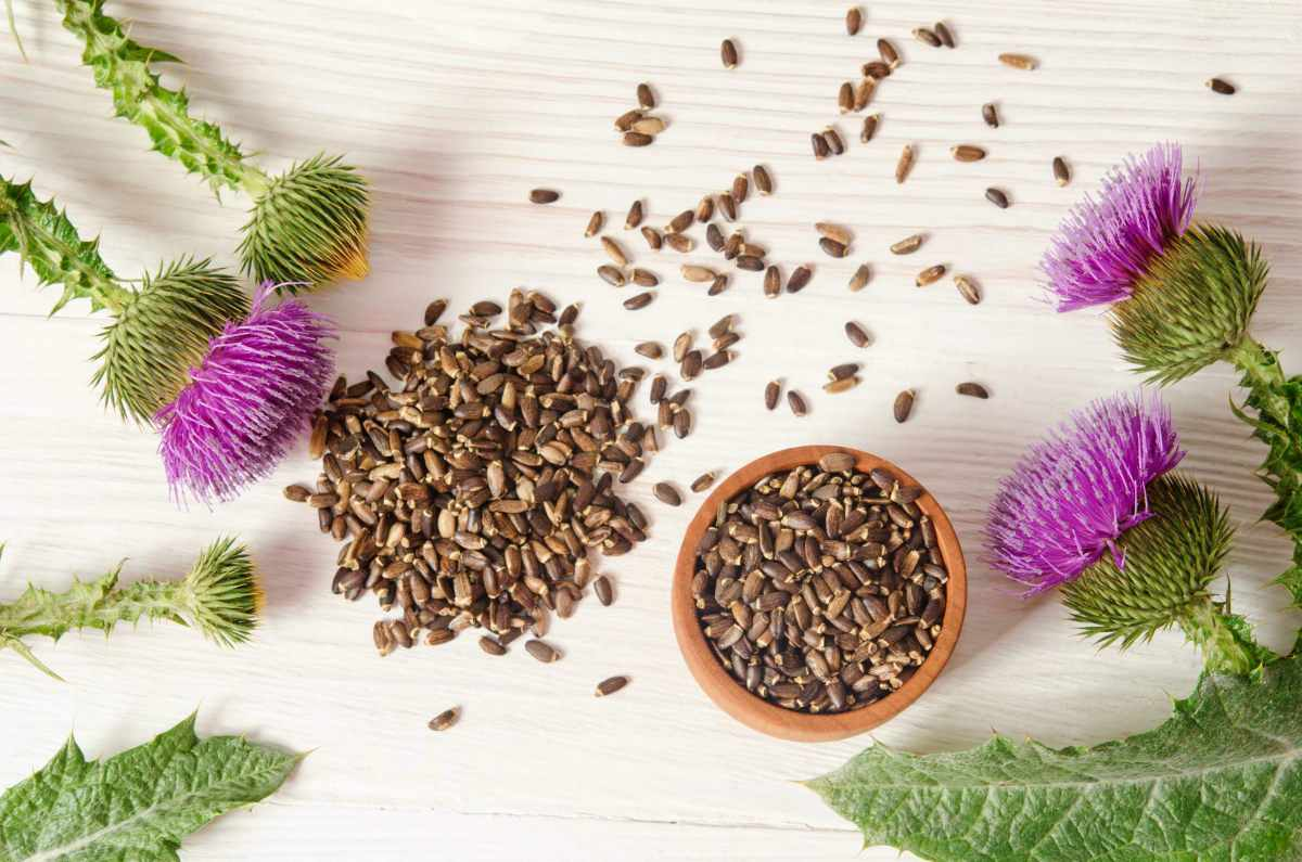 Seeds of a milk thistle with flowers on wooden table | Seeds of a milk thistle with flowers
