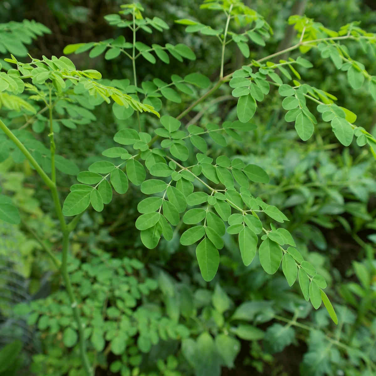 close up of leaves of Moringa tree | The Battle Of The Greens: Moringa vs. Matcha | matcha and moringa tea | super greens