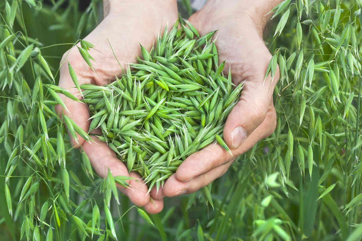 A handful of ripe green oats | Best Herbs For Hair Growth At Home