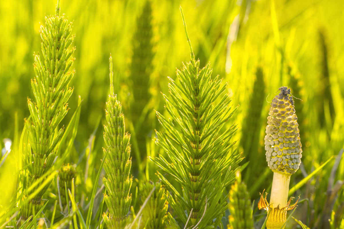 Horsetail cattail equisetum arvense | Best Herbs For Hair Growth At Home