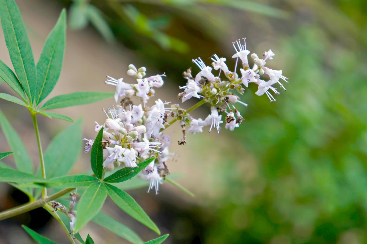chasteberry flowers | Herbs For A Stress Free Life | herbs for stress and anxiety